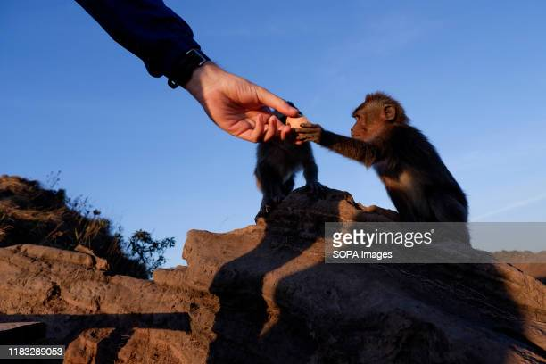 A man is seen feeding a monkey at the summit of Mount Batur in Bali during the sunrise A popular tourist destination Mount Batur is a 1717 meter high...