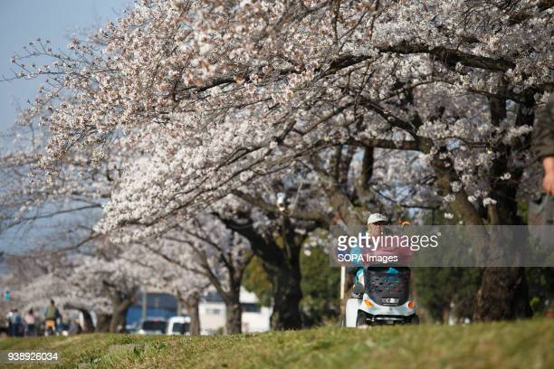 LEVEE TOYOKAWA AICHI JAPAN A man is seen riding his wheelchair along river side with cherry blossoms in Toyokawa The Cherry blossom also known as...