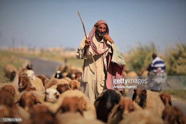 A man is seen with his small cattles on the first year of Operation Peace Spring as life turned to normal in Tal Abyad Syria on October 13 2020 A...