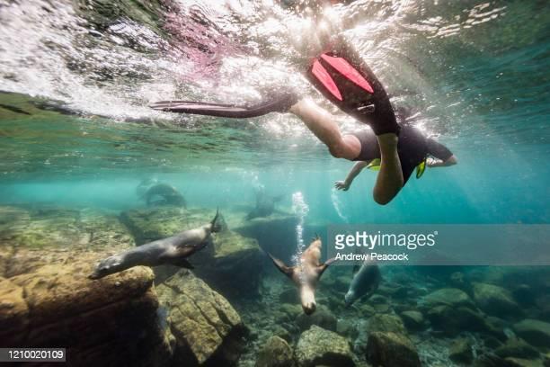 un hombre está buceando con leones marinos de california - océano pacífico fotografías e imágenes de stock
