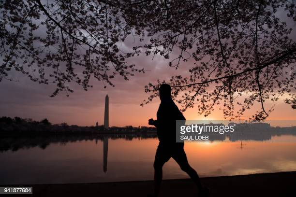 A man jogs past the Cherry Blossom trees as they bloom around the Tidal Basin at sunrise in Washington DC April 4 2018 / AFP PHOTO / SAUL LOEB
