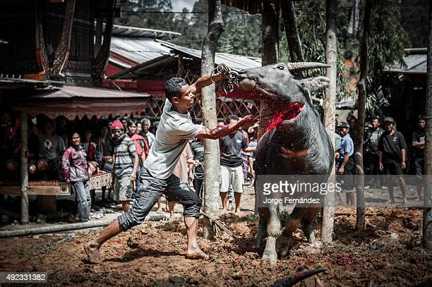 Man killing a water buffalo for the funeral celebration of an old woman
