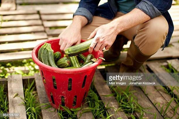 A man kneeling and sorting fresh picked vegetables,courgettes.