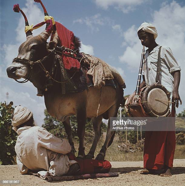 Man kneels in the road with a cow in his lap, while a musician accompanies him on the drums, India, circa 1965.