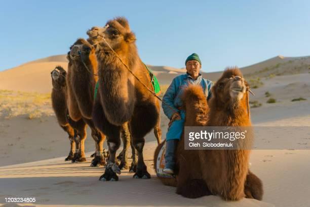 man leading caravan of bactrian camel in the gobi desert at sunset - nomadic people stock pictures, royalty-free photos & images