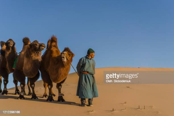 homem liderando caravana de camelo bactriano no deserto de gobi ao pôr do sol - glendale arizona - fotografias e filmes do acervo