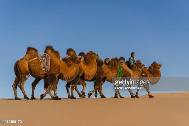 man leading caravan of bactrian camel in the gobi desert at sunset - glendale arizona stock pictures, royalty-free photos & images