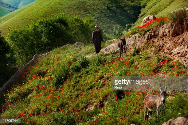 A man leading two donkeys in a field of poppies May 17 2009 in Baghlan Province Afghanistan