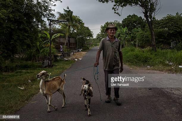 A man leads his goat in Merisen Village on May 27 2016 in Sidoarjo East Java Indonesia The Merisen village was damaged by the Sidoarjo mudflow and...
