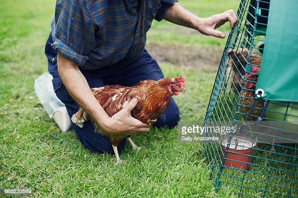 Man looking after chickens