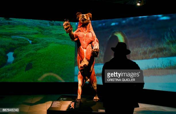 A man looks at a full plastinated body of a bear on display at the 'Casino de la Exposicion' cultural center in Seville on November 30 on the eve of...