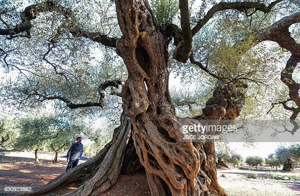 A man looks at the millennia old olive tree famous for staring in the film the Olive by Spanish director Iciar Bollain in an olive grove in the...