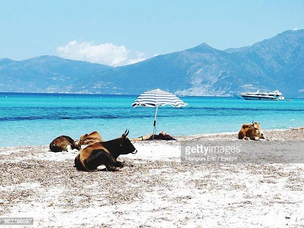 man lying on shore with cows at beach against sky - corse photos et images de collection