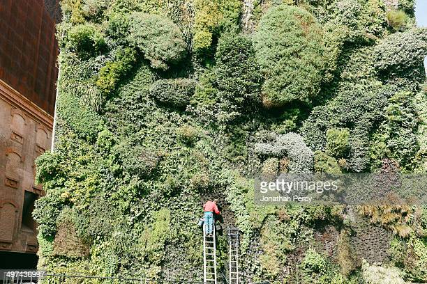 Man maintaining vertical garden in Madrid