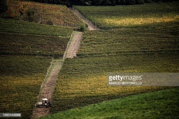 Man maneuvers a vehicle through a field of Nebbiolo grapes, which are used to make Barolo wine, during the harvest in the Langhe countryside in...