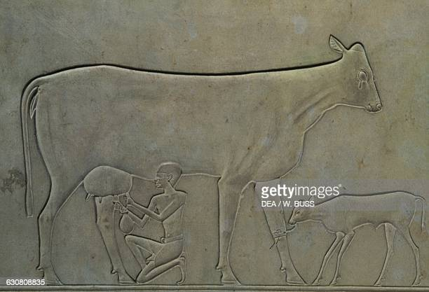 Man milking a cow with a calf basrelief on the sarcophagus of Princess Kawit 2050 BC from the Temple of Mentuhotep II Deir elBahri Egypt Egyptian...