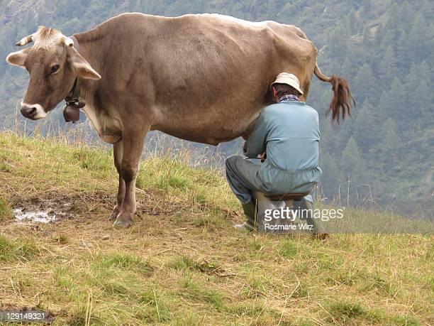 man milking cow in the orobic alps - mann beim melken stock-fotos und bilder