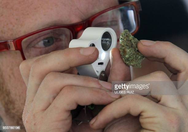 A man observes a sample of cannabis during the first Cannabis Cup where selfcultivation and the quality of the herb are encouraged in Tlajomulco de...