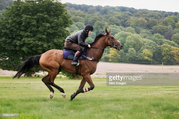 man on a bay horse galloping across grass. - andare a cavallo foto e immagini stock