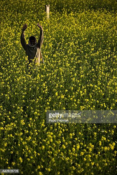Man on a mustard crop near of Agra Uttar Pradesh India