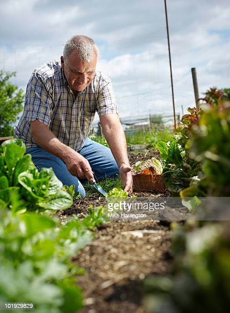 man on allotment - newpremiumuk stock pictures, royalty-free photos & images