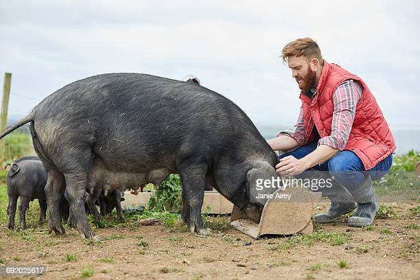 man on farm feeding pig and piglets - pigs trough stock pictures, royalty-free photos & images