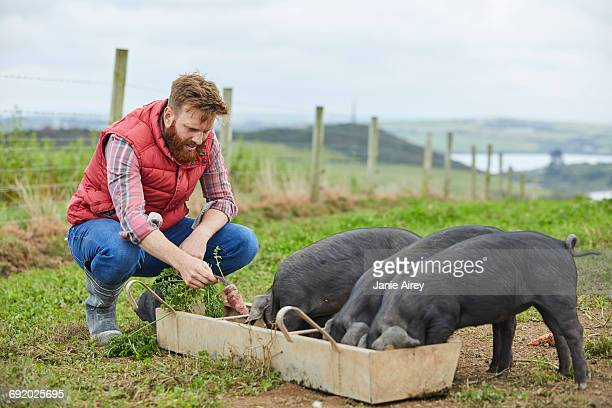 man on farm feeding piglets - pigs trough stock pictures, royalty-free photos & images