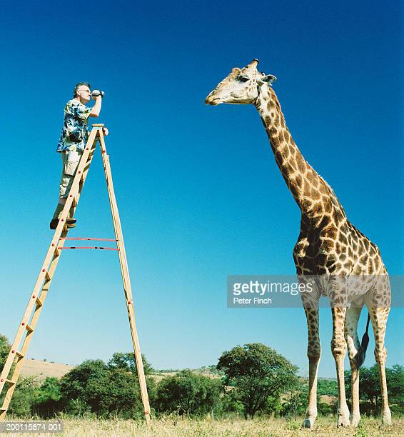 man on ladder filming giraffe (giraffa camelopardalis) - white giraffe stockfoto's en -beelden