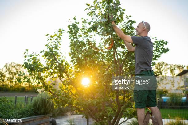 mann auf leiter im garten schneiden aprikosenbaum bei sonnenuntergang - september stock-fotos und bilder