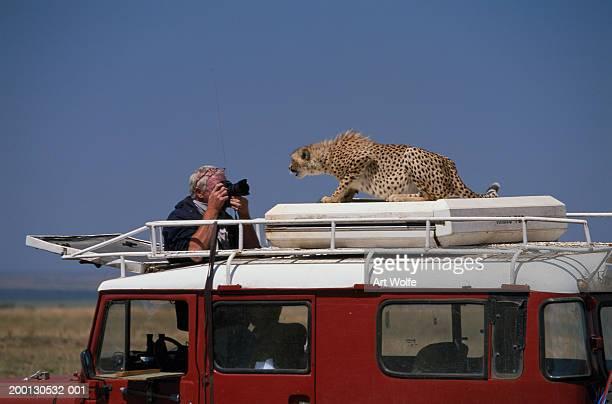 Man on safari taking photograph of cheetah on roof of 4x4