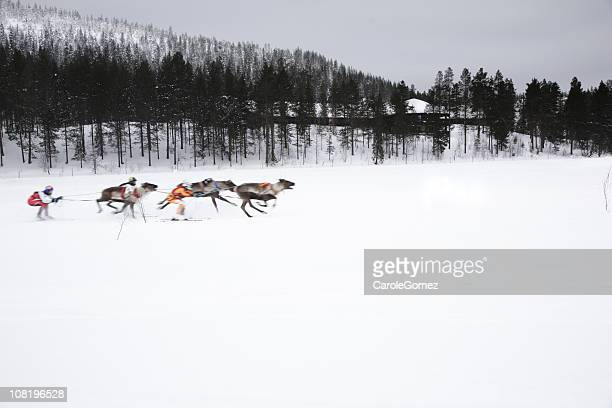 man on skis being towed by reindeer: traditional lappish sport - ski racing stock pictures, royalty-free photos & images