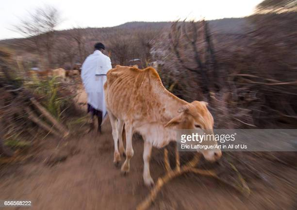Man opens the cow's fence during the Gada system ceremony in Borana tribe Oromia Yabelo Ethiopia on March 7 2017 in Yabelo Ethiopia