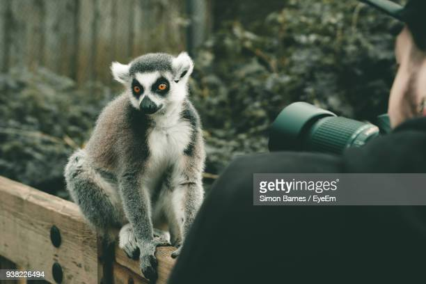 Man Photographing Lemur With Camera