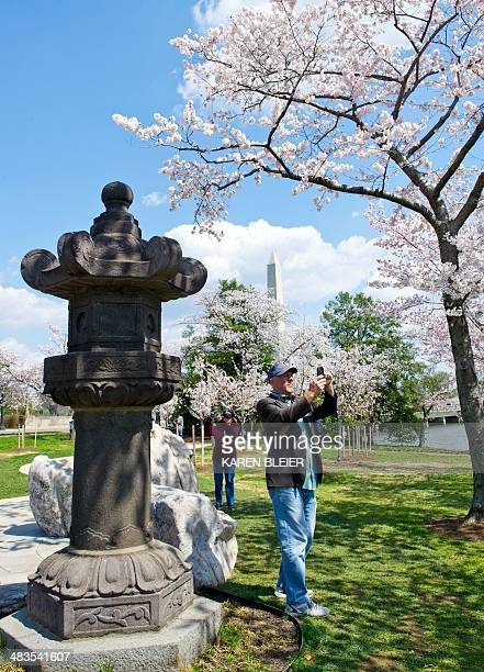 A man photographs blooming cherry trees next to the Japanese Lantern April 9 2014 near the Tidal Basin in Washington DC The trees should be at peak...