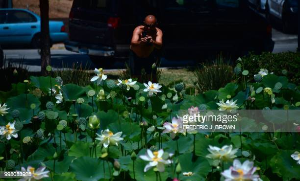 A man photographs Lotus flowers blooming at Echo Park Lake in Los Angeles California on July 13 a day before the 38th annual Lotus Festival which...