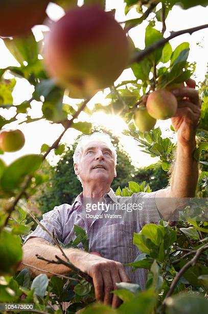 Man picking apples.