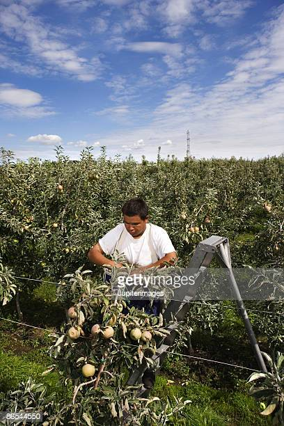 man picking apples - migrant worker stock photos and pictures