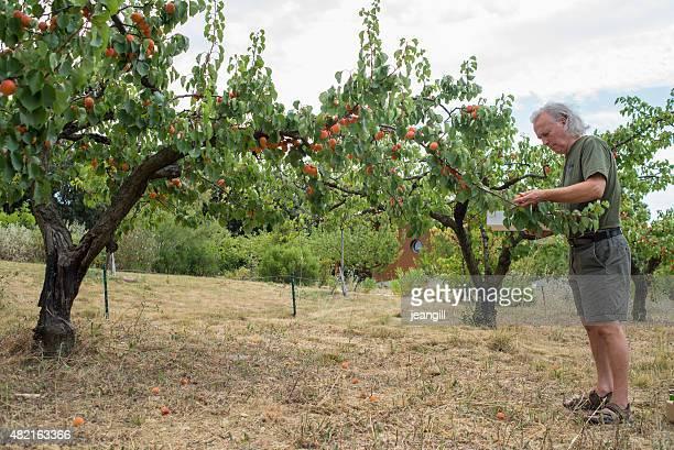 Homme cueillette au verger d'abricots