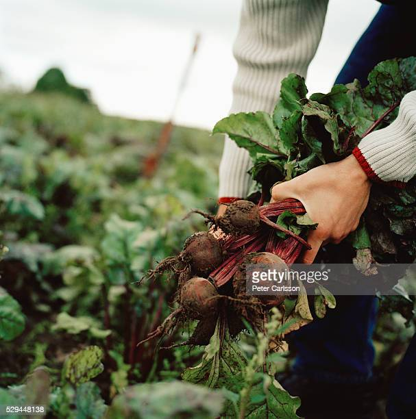 a man picking beetroots skane sweden. - root vegetable stock pictures, royalty-free photos & images