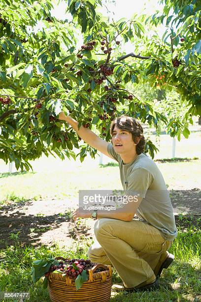 man picking cherries - hood river stock pictures, royalty-free photos & images