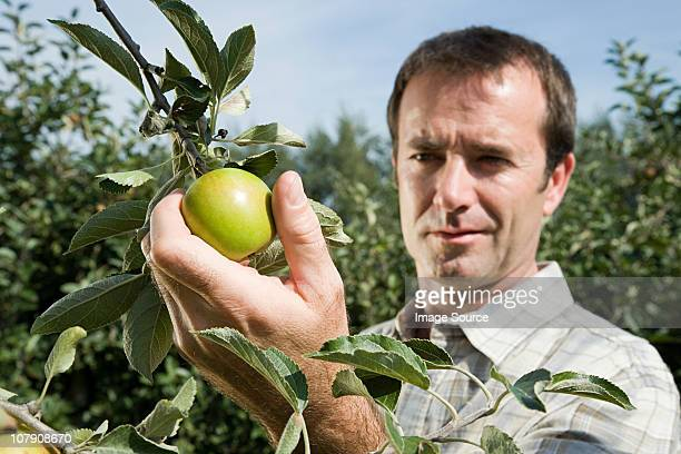 Man picking fresh apples