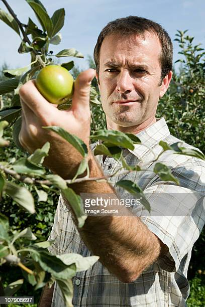 man picking fresh apples - esher stock pictures, royalty-free photos & images