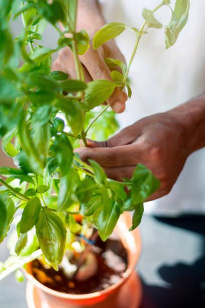 Man picking fresh basil leaves from plant