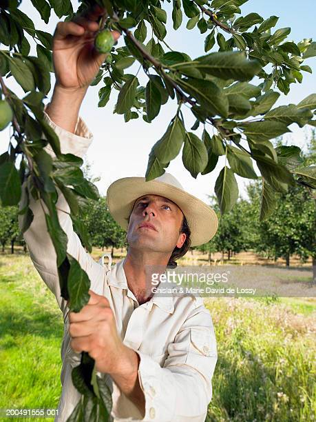 man picking fresh prune from tree in orchard - saint ferme stock photos and pictures