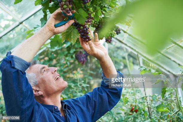 Man picking grapes in greenhouse