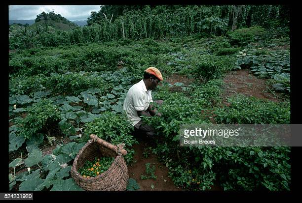 Man Picking Peppers in Jamaica