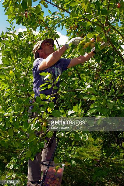 man (45 years old) picking plums (prunus domestica), 'opal', july - 45 49 anni foto e immagini stock