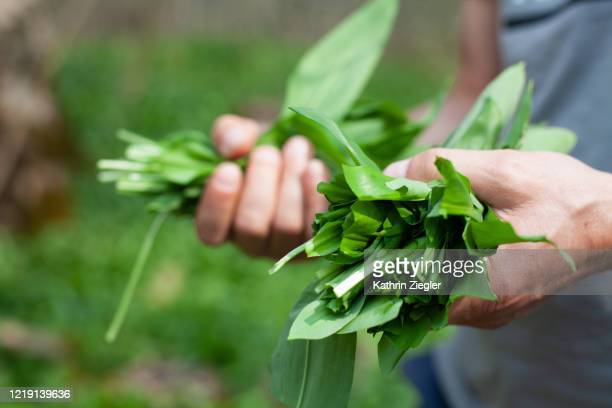 man picking ramson leaves in forest, close-up of hands - ail des ours photos et images de collection