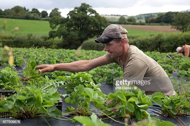 Man picking strawberries in a field, Riverford organic farm, Devon, UK food industry