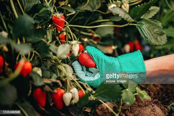 man picking strawberries on farm - strawberry stock pictures, royalty-free photos & images